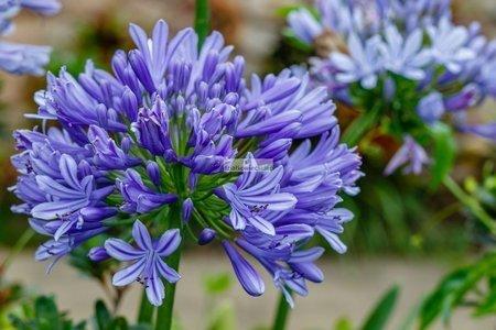 Agapant Blue (1 szt.) (Agapantus)