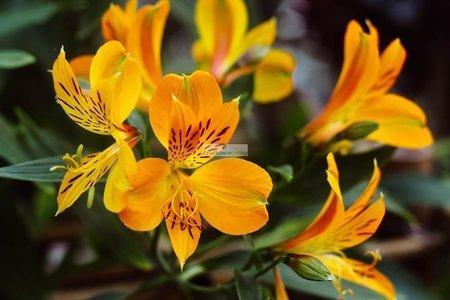 Alstroemeria Yellow Princess (1 szt.) (Alstromeria)