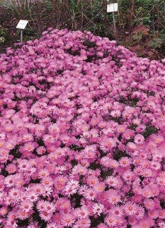 Aster Herbstgruss V. Bresserhof (1 szt.) (aster)