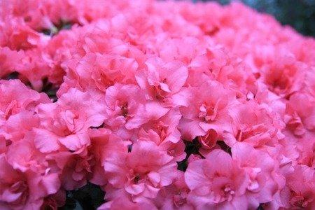 Azalia japońska Rose Bud (Azalea japonica Rose Bud)