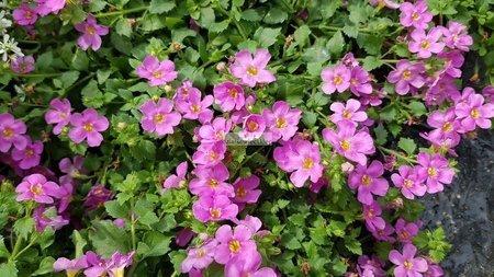 Bakopa różowa (bacopa-sutera)