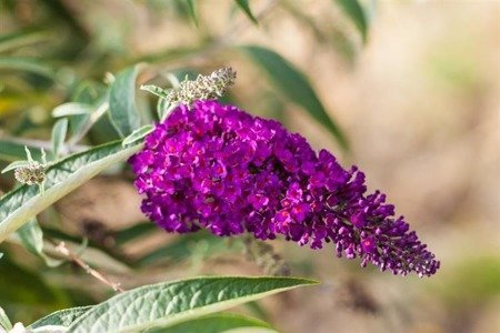 Budleja Dawida Royal Red 1 (Buddleia davidii)