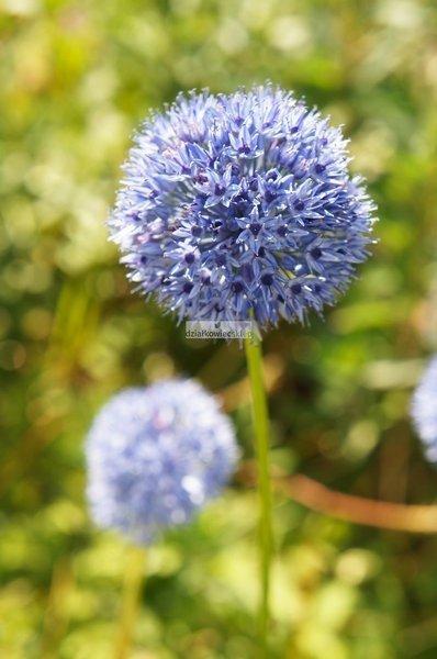 Czosnek ozdobny Caeruleum (5 szt.) (Allium)