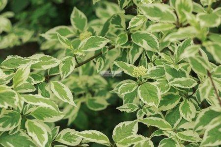 Dereń biały Elegantissima
