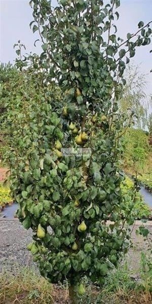 Grusza kolumnowa Saphira - duże zielono – żółte owoce