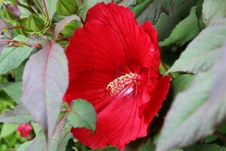 Hibiskus bylinowy Robert Fleming (Hibiscus moscheutos)