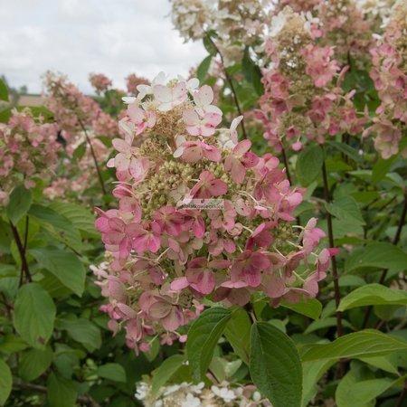 Hortensja bukietowa Pink Diamond (Hydrangea paniculata Pink Diamond)