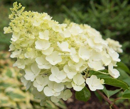 Hortensja bukietowa Silver Dollar (Hydrangea paniculata )
