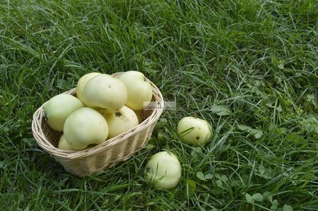 Jabłoń Oliwka Żółta (Papierówka) (Malus domestica Oliwka Żółta)