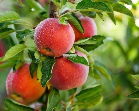 Jabłoń Szampion (Malus domestica Szampion)