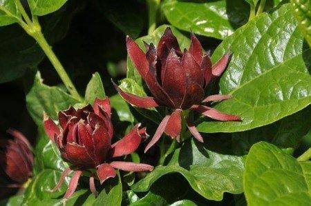 Kielichowiec wonny (Calycanthus floridus)