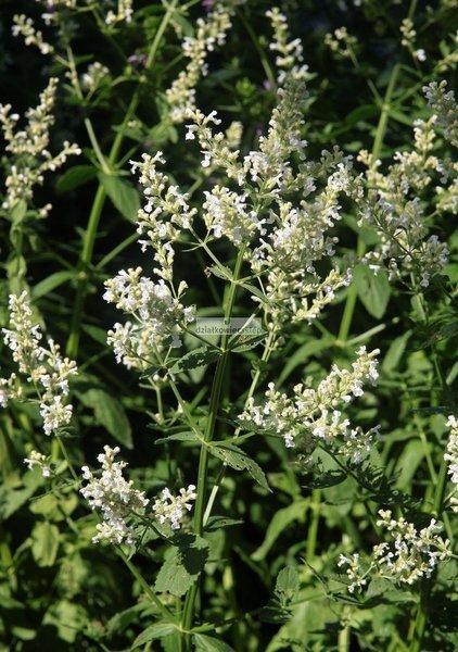 Kocimiętka Snowflake - biała (Nepeta racemosa Snowflake)