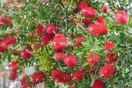 Kuflik Leavis (Callistemon Leavis)