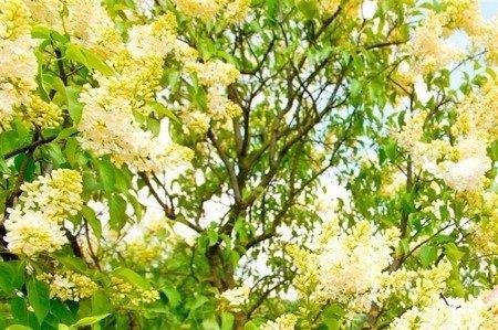 Lilak pospolity Primrose (Syringa vulgaris)