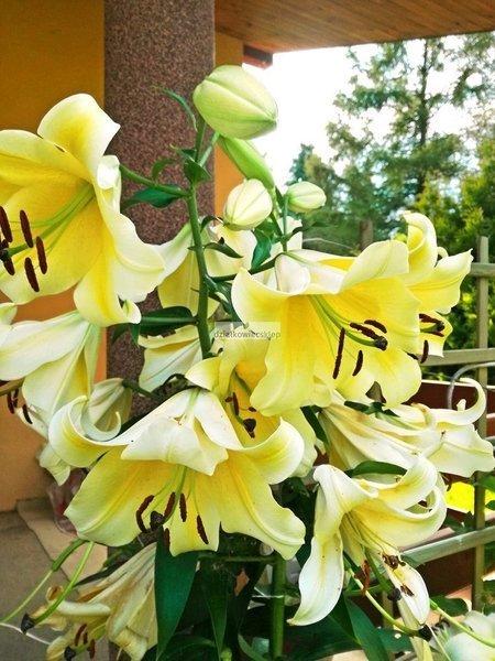 Lilia drzewiasta Honeymoon (1 szt.)  (lilium)