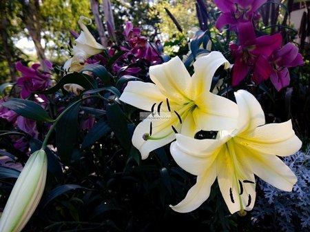 Lilia orientalna Chill Out (1 szt.) (lilium)