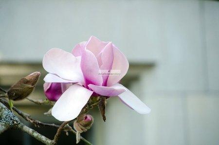 Magnolia Lolanthe