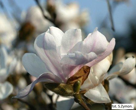 Magnolia gwiaździsta Alixeed