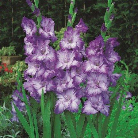 Mieczyk Triton (5 szt.) (gladiolus)