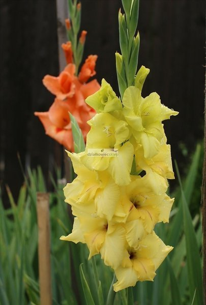 Mieczyk wielkokwiatowy Nova Lux (5 szt.) (gladiolus)