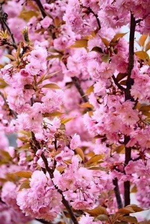 Migdałek trójklapowy Rosenmund (Prunus triloba Rosenmund)
