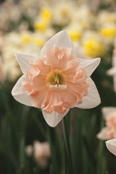 Narcyz wielkoprzykoronkowy Dear Love (2 szt.) (Narcissus)