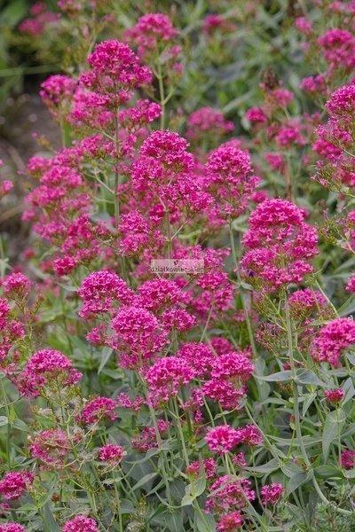 Ostrogowiec czerwony (1 szt.) (Centranthus)