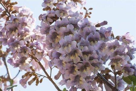 Paulownia puszysta Cesarskie Drzewo Szczęścia (Paulownia tomentosa)