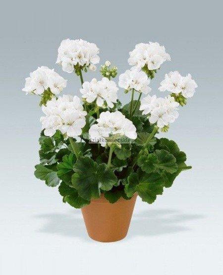 Pelargonia rabatowa biała (pelargonium zonale)