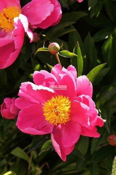 Piwonia Nymphe (1 szt.) (Paeonia)