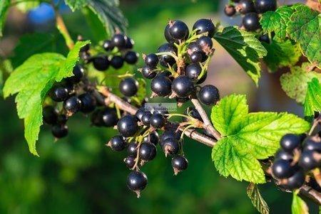 Porzeczka krzaczasta czarna Titania (Ribes niveum)