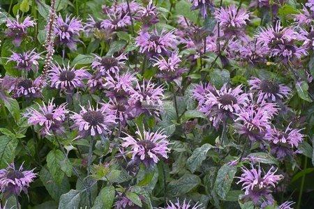 Pysznogłówka Elsies Lavender (Monarda) (doniczka)