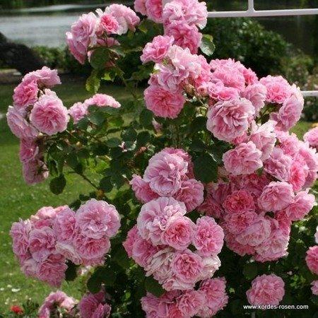 Róża Uetersens Rosenprinzessin® (1 szt.)