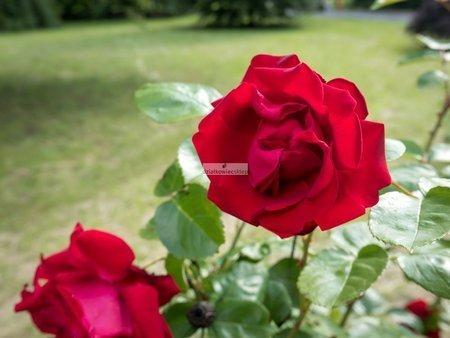 Róża parkowa Santana (rosa)