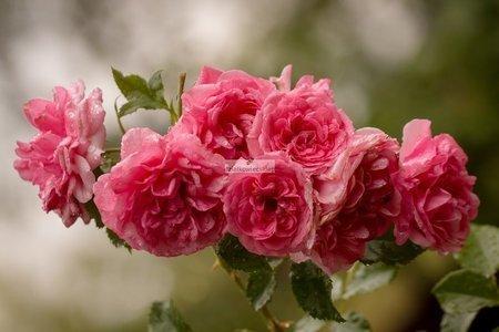 Róża pnąca Rosarium Uetersen (rosa)