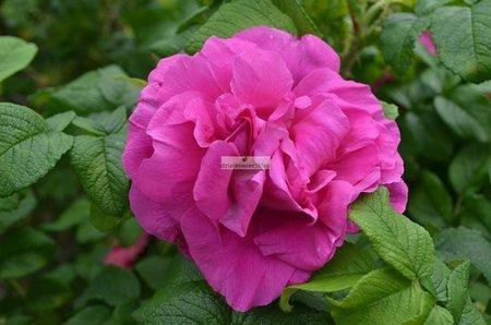 Róża pomarszczona Emotion (Rosa rugosa)