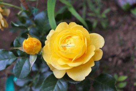 Róża rabatowa Inka (rosa)