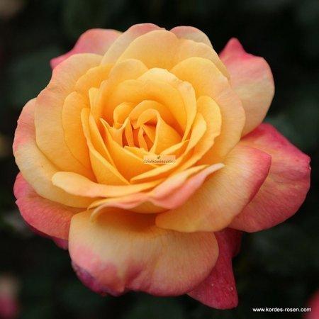 Róża rabatowa Speelwark ® (wielkokwiatowa) (rosa)