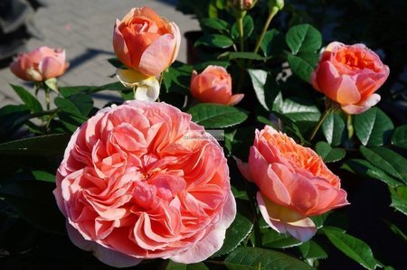 Róża renesansowa Chippendale ® (rosa)