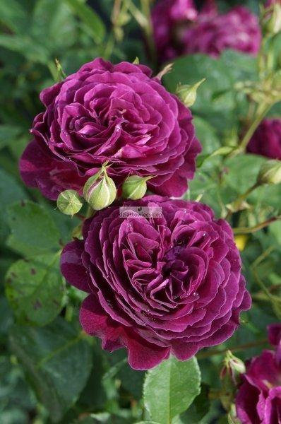 Róża wielkokwiatowa Sunflor Purple Eden ® (rosa)