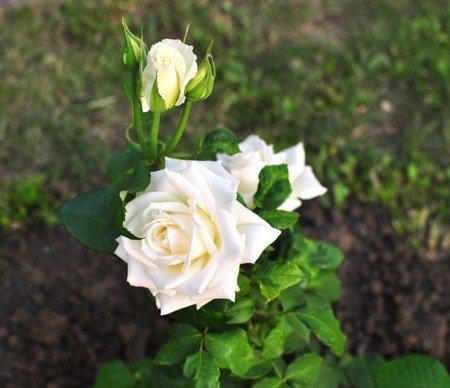 Róża wielkokwiatowa na pniu (biała)