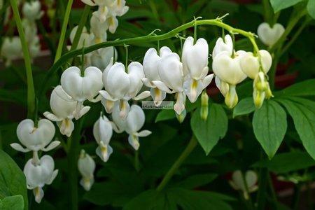 Serduszka Spectabilis Alba (1 szt.) (dicentra)
