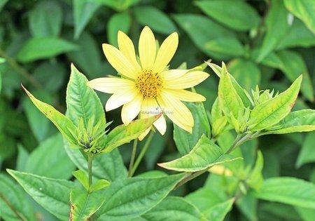 Słonecznik Lemon Queen (Helianthus)