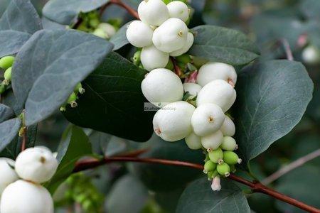 Śnieguliczka Doorenbosa White Hedge (Symphoricarpos ×doorenbosii)