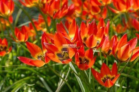 Tulipan botaniczny Little Princess (5 szt.) (Tulip)
