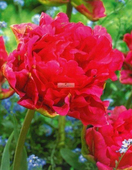 Tulipan pełny-późny Justina (5 szt.) (Tulip)
