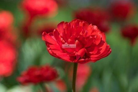 Tulipan pełny-wczesny Double Toronto (5 szt.) (Tulip)