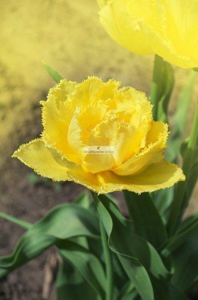 Tulipan strzępiasty Exotic Sun (3 szt.) (Tulip)