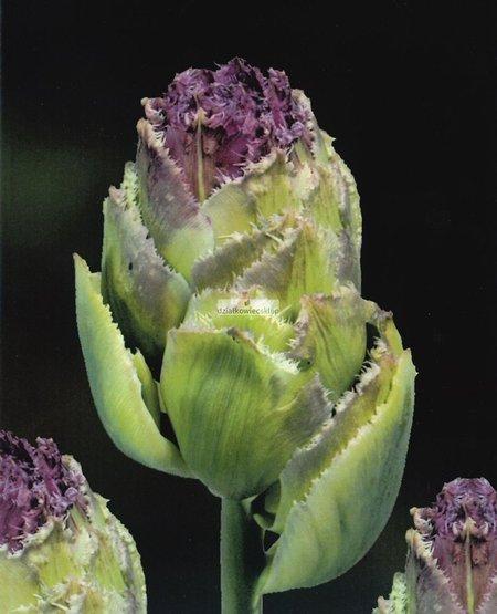 Tulipan strzępiasty Purple Tower (3 szt.) (Tulip)