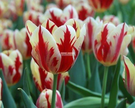 Tulipan triumph Grand Perfection (5 szt.) (Tulip)